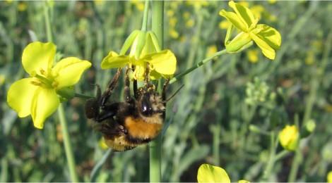 Non-Apis Pollinators